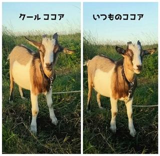 マリーナ河芸 ヤギ ココア.jpg
